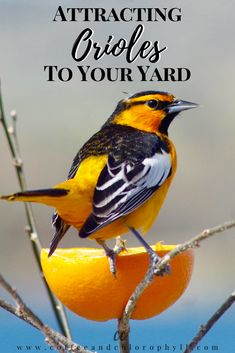 You don't need fancy feeders to attract beautiful orioles to you yard. Here are some simple strategies you can use today, to lure in these showy birds. Bird Feeder Craft, Bird House Feeder, Oriole Bird Feeders, Baltimore Orioles Birds, Kayak Fishing Gear, Homemade Bird Feeders, Backyard Birds, Wild Birds, Beautiful Birds