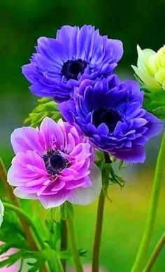 Solve Amazing Anemone Series jigsaw puzzle online with 54 pieces Flowers Nature, Exotic Flowers, Amazing Flowers, Beautiful Roses, Colorful Flowers, Purple Flowers, Beautiful Gardens, Beautiful Flowers, Cut Flowers