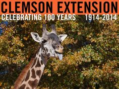 Celebrate Visit the Zoo Day with the giraffe at the Greenville Zoo. Photo by Peter Tögel. #ClemsonExt100
