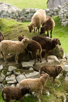 Soay Sheep ~ As we all walk this pathway of life, we're on different levels at different times. Maturing slowly or quickly. Continue to trust in the Lord for His journey upon each of us.
