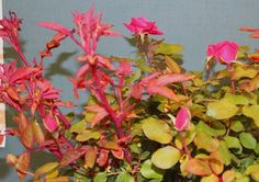 Rose rosette disease symptom - Medusa-like bunches of bright-red new shoots spread by eriophyid mites