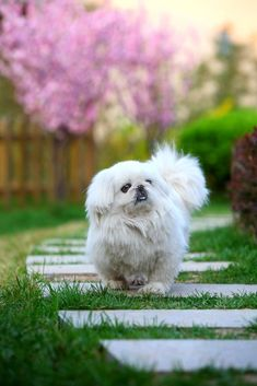 Ideas for Dog Proofing Your Landscaping - Dog Pet Care Corner - PetSolutions Yorkies, Pekingese Puppies, Dogs And Puppies, Fu Dog, Dog Cat, Animals And Pets, Cute Animals, Funny Animals, Collie