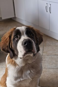 St. Bernard, by oscar pm2012, via Flickr