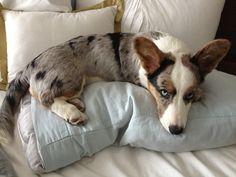 Cardigan corgi blue merle. I am not a mixed breed!! My Grand puppy.