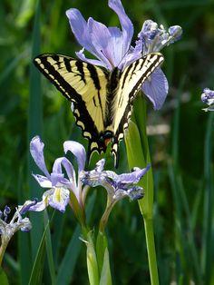 swallowtail on rocky mountain iris
