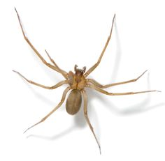 Brown recluse, black widow and other dangerous spiders found in the US Common Spiders, Huge Spiders, Spider Bite Symptoms, Female Black Widow, Brown Recluse Spider Bite, Spider Identification, Spider Species, Insect Species