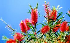 Bottle brush Tags: planted aviary, aviary design, budgie, bird safe food, Australian native plants