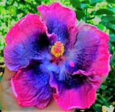 Hibiscus plant, Hibiscus flowers, Growing hibiscus, Exotic flowers, Beautiful flowers, Hibiscus - 4 inch deep in quality gardening soil and place them in room temperature until they germinate (4 days5 - #Hibiscusplant Growing Hibiscus, Hibiscus Plant, Hibiscus Flowers, Exotic Flowers, Large Flowers, Purple Flowers, Lilies Flowers, Cactus Flower, Yellow Roses