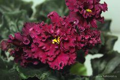 Фото фиалки ЛЕ-Огненный Цветок добавил пользователь Dany  (Dany) 01.04.2013 21:54:37