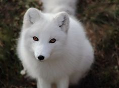 The arctic fox is infinitely adaptable, living its life in one of the world's most extreme climates. Description from theotherside.wordpress.com. I searched for this on bing.com/images