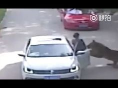 The woman went to rescue her daughter who had got out a car to remonstrate with her partner as they passed through the Siberian tiger enclosure at Badaling Wildlife Park in China Car Dice, Woman In Car, Tiger Attack, Powerful Pictures, Wildlife Park, Siberian Tiger, China, Exotic Pets, Puerto Rico