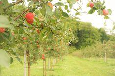 La Courgerie - Automne Lanaudière Apple, Fruit, Unique, Places, Fall Season, Apple Fruit, Apples