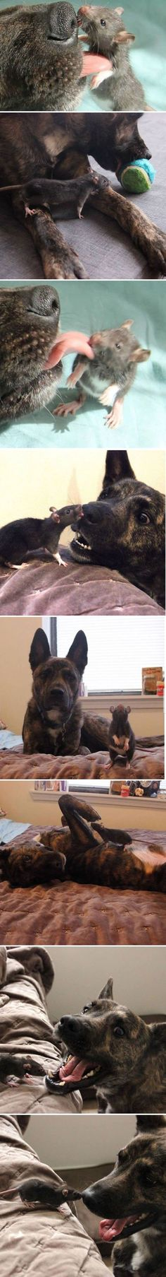 rat and dog are BEST FRIENDS #echtlustig.com