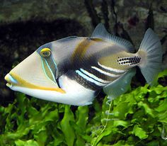 """The reef, rectangular, or wedge-tail triggerfish, also known by its Hawaiian name, humuhumunukunukuāpuaʻa (or just humuhumu for short; meaning """"blunt nosed fish that is sewn together like a patchwork quilt and grunts like a pig"""" for the sound it makes when cornered or caught)."""