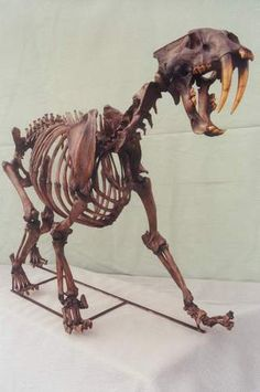 California Saber Tooth Cat Skeleton. Carnivore of the La Brea Tar Pits. Skeleton measures 2.0 m.(6.56 ft).