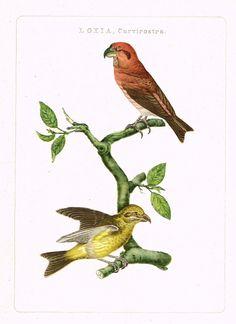"Nederlandsche Vogelen Bird Print - """"LOXIA, CURVIROSTRA"""" - Offset Lithograph - c1960 Print Artist, Bird Prints, Woodblock Print, Natural History, Vintage Art, This Is Us, Illustration Art, Antiques, Nature"