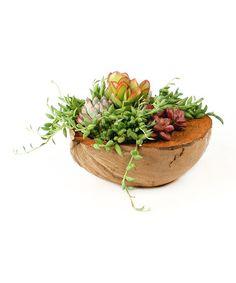 Love this Coconut Succulent Garden Set on #zulily! #zulilyfinds