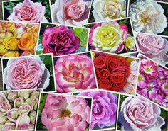 Garden Party of Roses Note Cards  Set of Four by MelissFloraStudio, $10.00