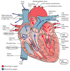 If the AV valves, chordae tendineae, or papillary muscles become damaged, backflow of blood (regurgitation) into the atria can occur with ventricular contraction.