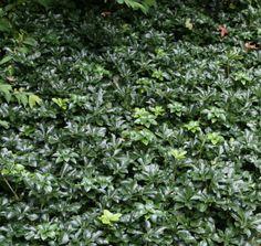 U bent op zoek naar een Pachysandra terminalis 'Green Sheen' ()? Tuincentrum Maréchal! ✔ Eigen kwekerij ✔ LAGE prijzen ✔ Uitgebreide planteninformatie
