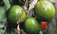 Nigel Slater's green tomato recipes - mixed tomato chutney, baked chicken with tomatoes and olives Green Tomato Recipes, Red Tomato, Fruit Recipes, Easy Healthy Recipes, Vegetable Recipes, Summer Recipes, Real Food Recipes, Cooking Recipes, Kitchens