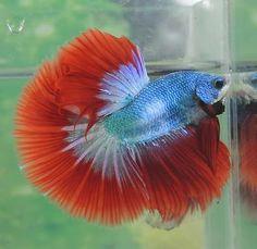 IMPORTED-HM-Sea-of-Fire-Male-Live-Betta-Fish-Hunter