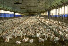 Voici dans quel environnement évoluent les poules qui pondent des œufs de poules élevées en plein air.