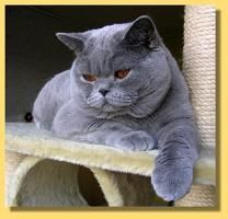 GolanCat - British Shorthair Cats. i cant even handle this right now.