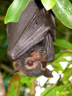 The Spectacled Flying Fox (Pteropus conspicillatus)