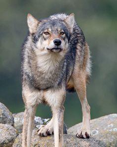 ☀Coastal wolf by Max Waugh