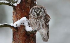 Helmipöllö. Kuva: Petri Vainio Cutest Animals, Owl Art, Birds Of Prey, Petra, Bird Houses, Arctic, Owls, Supernatural, Natural Beauty