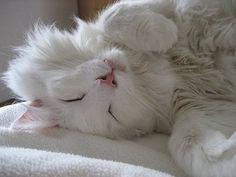 white Norwegian Forest cat - my future kitty??