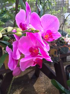 Pink Phalaenopsis orchids that are in full bloom today in the garden at Orchid World and Tropical Flower Garden in Barbados    13th April, 2016