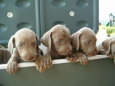 PUPPIES!!!! I want a Miniature Weimeraner.