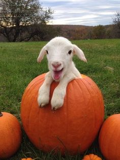 Sheep + pumpkin :) : awww, look at his sweet smile♥♥♥♥ Cute Little Animals, Cute Funny Animals, Cute Goats, Mini Goats, Baby Goats, Animal Jokes, Cute Animal Pictures, Cute Pics, Animal Pics