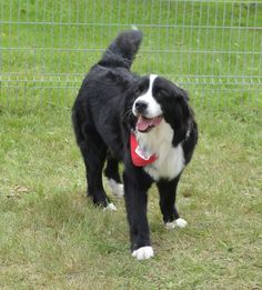 Bernese Mountain, Mountain Dogs, Puppies And Kitties, Doggies, Chien Mira, Working Dogs, Fur Babies, Dog Breeds, Kitty