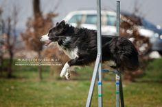 dog agility border collie