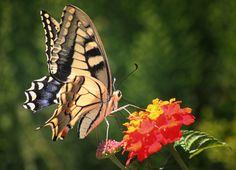 *• Butterfly having Lunch :OP  •*