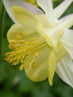 """""""Purity of the White Columbine"""" floral photo by Mary Sedivy."""