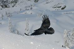 Raven in Flight | Flickr - Photo Sharing!