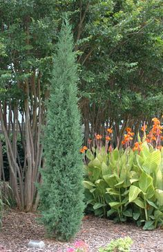 Juniper Collection  Juniperus virginiana 'Taylor'  Juniperus chinensis 'Saybrook Gold'  Juniperus horizontalis 'Monber' Icee Blue®