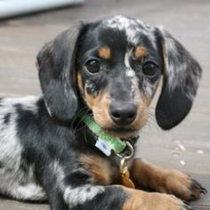 Grey dapple doxie ba
