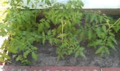 My tomato plants growing in the summer of 2012 at the back of the house in Rice Lake. I have an heirloom I brought all the way from West Virginia when we moved here!