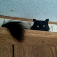 Sadie on top of the kitchen cabinet.