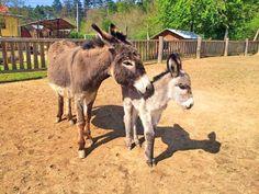 Ranč pod Babicou se rozprostírá na jihovýchodním úpatí Považského Inovce, na okraji obce Bojná.... Goats, Animals, Animales, Animaux, Animal, Animais, Goat