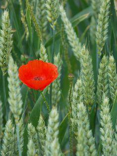 coquelicot dans champ de blé