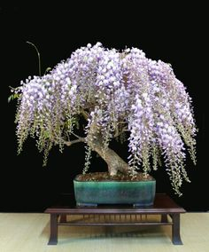 Bonsaï glycine