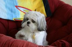 Shih Tzu Training Information including Shih Tzu Potty Training ...