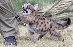 A filhote de puma de sete semanas é o único animal desta espécie a nascer no Zoológico Friedrichsfelde, em Berlim, nos últimos 22 anos.