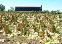 Cut tobacco curing in the field - ugh had do work in the fields after school.